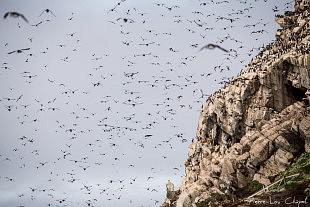 Colonie d'oiseaux marins de l'île d'Hornøya, au large de la péninsule de Varanger, Norvège